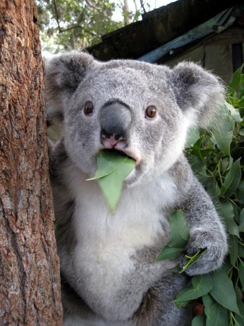 Surprised-Koala.jpg