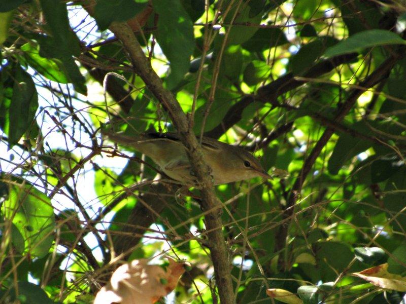 Fórum Aves - Birdwatching em Portugal - Portal IMG-2049